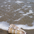 Cone Seashell On The Beach. by Anthony Totah
