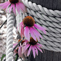 Coneflowers by Mark Wiley
