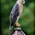 Cooper's Hawk  by Karen Adams