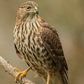 Coopers Hawk Portrait by Angie Vogel