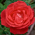 Coral Rose At Pilgrim Place In Claremont-california by Ruth Hager