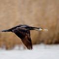 Cormorant In Flight by Cliff Norton