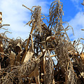 Corn Stalks Drying In The Sun by Robert Hamm