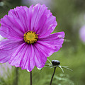 Cosmos Flower by Sebastien Coell