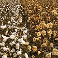 Cotton Field by Inga Spence