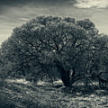 Cottonwood Tree by Sandra Selle Rodriguez
