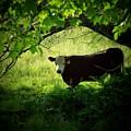 Cow by Michael L Kimble