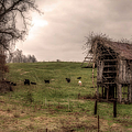 Cows In A Field By A Barn by Larry Braun