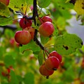 Crab Apples by Tim Beebe