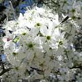 Crabapple Blossom  by Kathy R Thomas