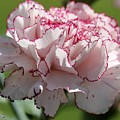Creamy White With Red Picotee Carnation by J McCombie