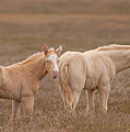 Cremello Brothers by Kent Keller