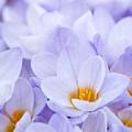Crocus Flowers by Elena Elisseeva