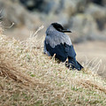 Crow In The Gras by Arild Lilleboe