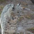 Curious Wandering Bobcat by DejaVu Designs