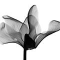 Cyclamen Flower X-ray by Bert Myers