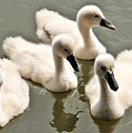 Cygnets by FL collection
