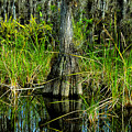 Cypress Tree by David Lee Thompson