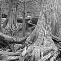 Cypress Trees I V by Jim Smith