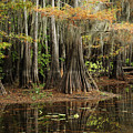 Cypress Trees In Caddo Lake by Iris Greenwell