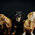 Dachshund Pack  by Johnny Ortez-Tibbels