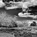 Daffodil Hill by Jessica Jenney