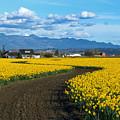 Daffodil Lane by Mike Dawson
