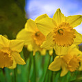 Daffodils  by Alex Art and Photo