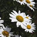 Daisy Day by Ann Keisling