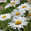 Daisy Delight by Suzanne Gaff