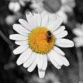 Daisy by Ilaria Andreucci