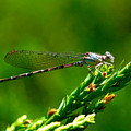 Damselfly by Marc Bittan