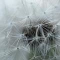 Dandelion Close-up by Michelle Himes