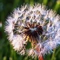 Dandelion In Nature by Vishwanath Bhat
