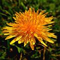 Dandelion  by Pamela Walton