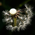 Dandelion by PIXELS  XPOSED Ralph A Ledergerber Photography