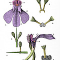 Darwins Orchis Pyramidalis, Illustration by Science Source