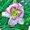 Day Lily by Gayle Miller