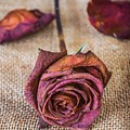 Dead Rose by Carlos Caetano