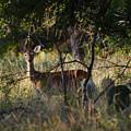 Deer by James Smullins