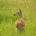 Deer by Linda Kerkau