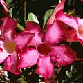 Desert Rose   Adenium Obesum by Allan  Hughes