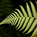 Detail Of Asian Rain Forest Ferns by Tim Laman