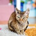 Devon Rex Purebred Domestic Cat by Lukasz Szczepanski