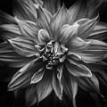 Dhalia by Shaun Wilkinson