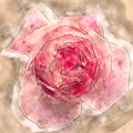 Digitally Manipulated Pink English Rose  by Humorous Quotes