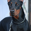 Doberman Pinscher  by Amir Paz