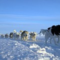 Dogsledge, Northern Greenland by Louise Murray