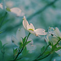 Dogwoods Evening by Rima Biswas