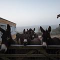 Donkeys by Dawn OConnor